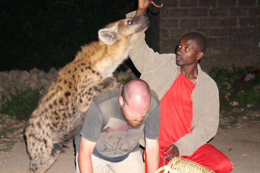 Feeding Wild Hyenas In Harar – Ethiopia