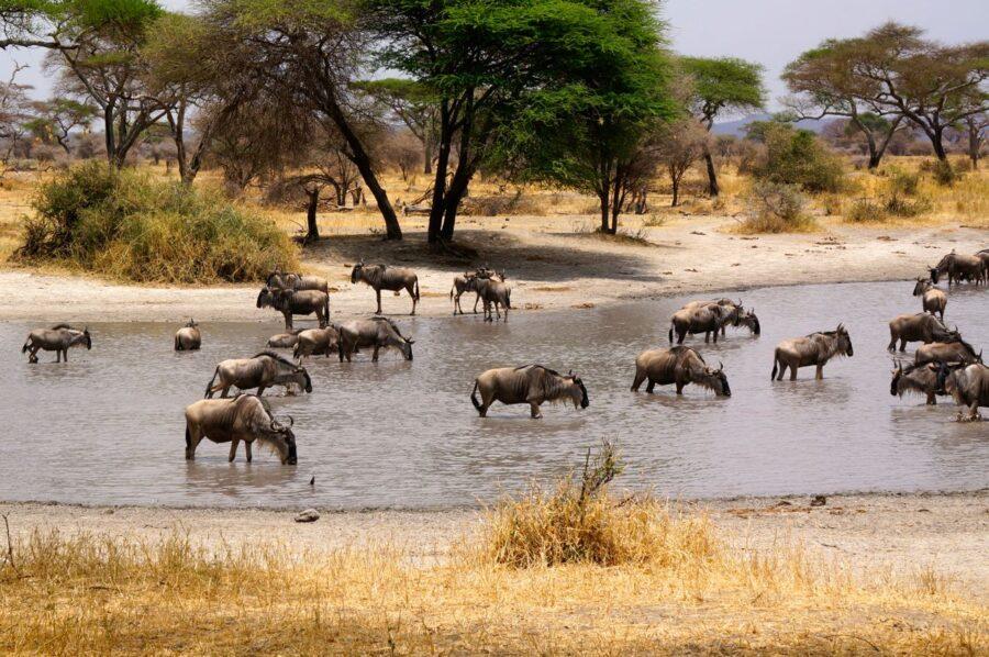 Wildebeast at a water hole on safari in Tanzania