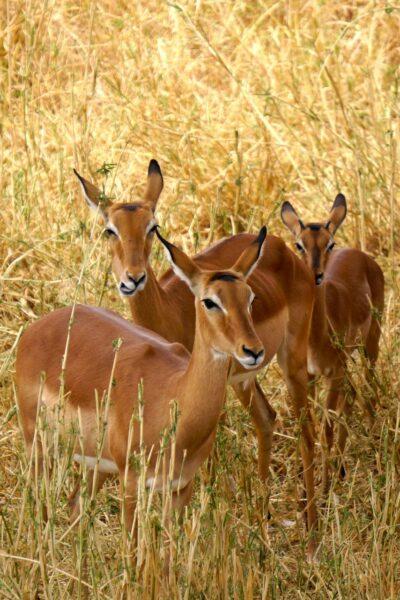 Deer on safari in Africa