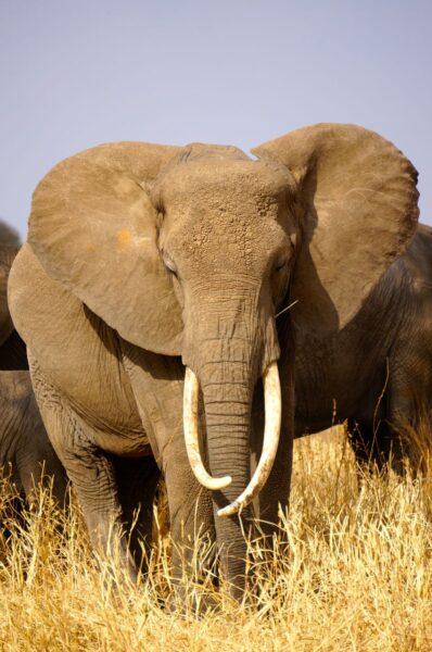 Elephant in Tarangire in Tanzania on safari