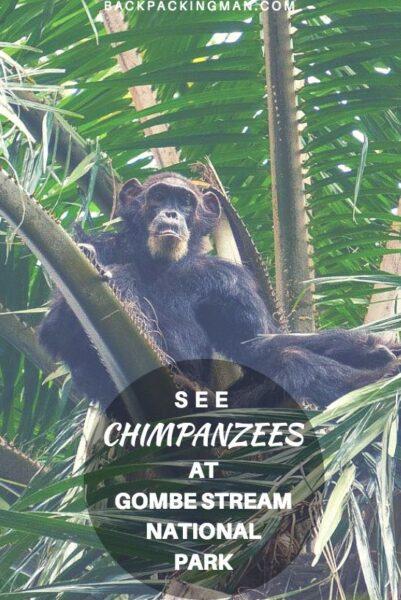 gombe stream chimpanzees