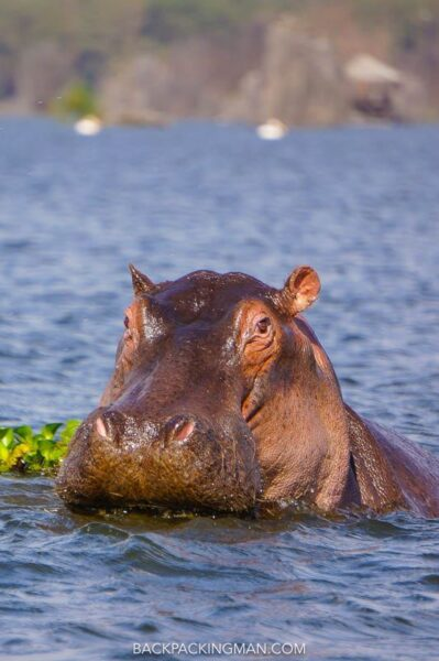 hippo in chobe national park