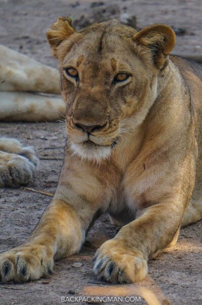 lions in south luangwa