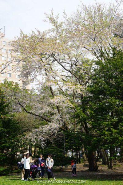 cherry-blossom-sapporo-japan-18