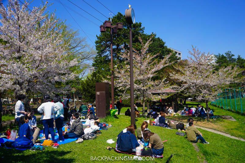 cherry-blossom-sapporo-japan-4