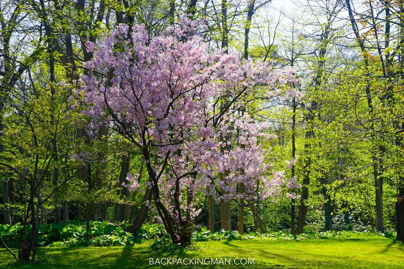 cherry-blossom-sapporo-japan-6