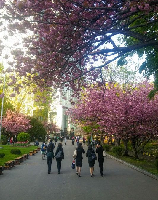 Cherry Blossom Season In Sapporo – Japan