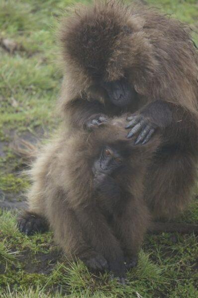 gelada monkeys simien mountains