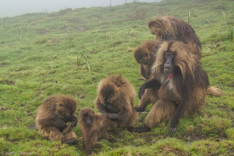 Hiking With Gelada Baboons in The Simien Mountains