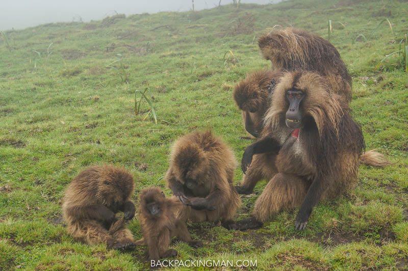 gelada baboons ethiopia