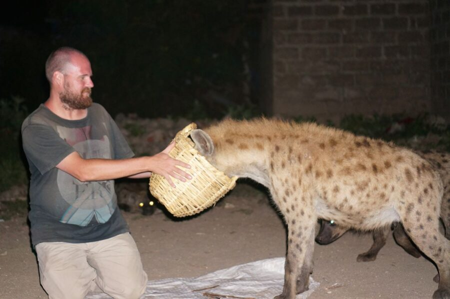 Feeding wild hyenas in Harar