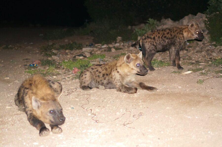 Hyenas in Hara, Ethiopia