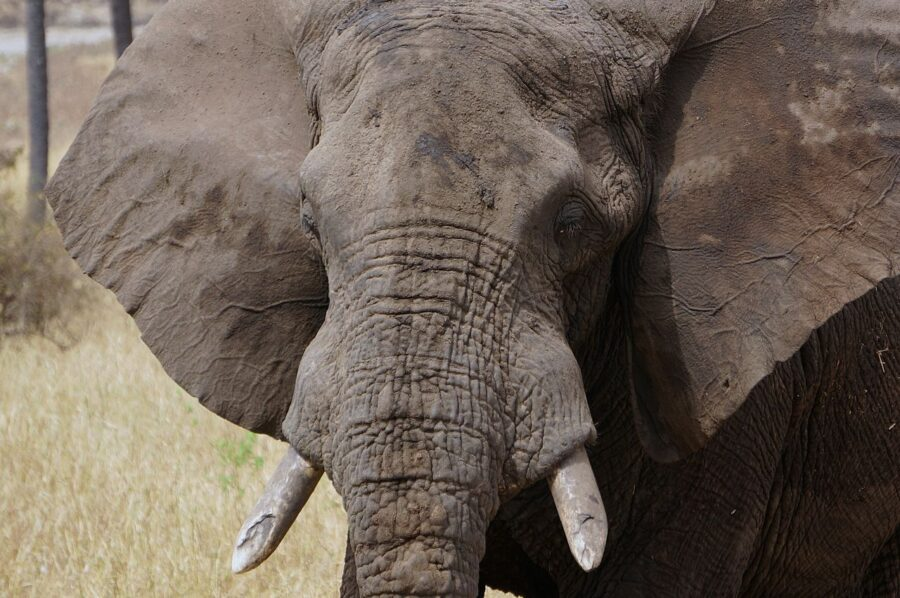 Elephant on safari in Tarangire