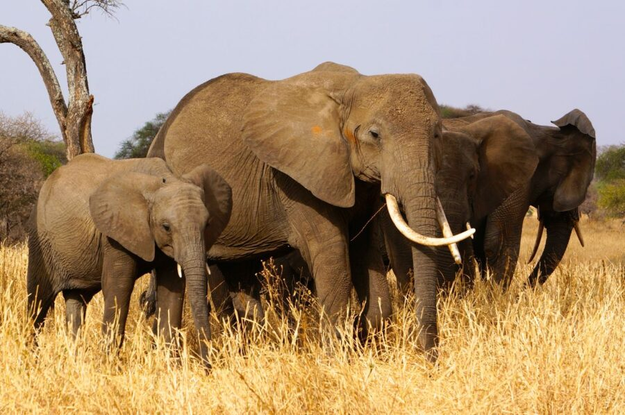 Elephants in Tarangire National Park in Tanzania.