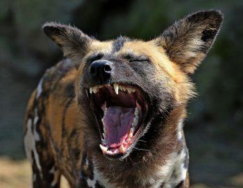 Feeding Wild Hyenas In Harar Ethiopia (Truly Scary)