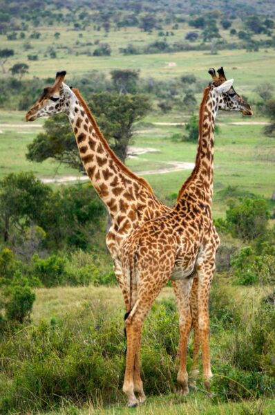 Giraffes in the Masai Mara