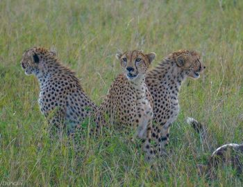 3 day Masai Mara Safari in Kenya (One Of The Best Safaris In Africa)