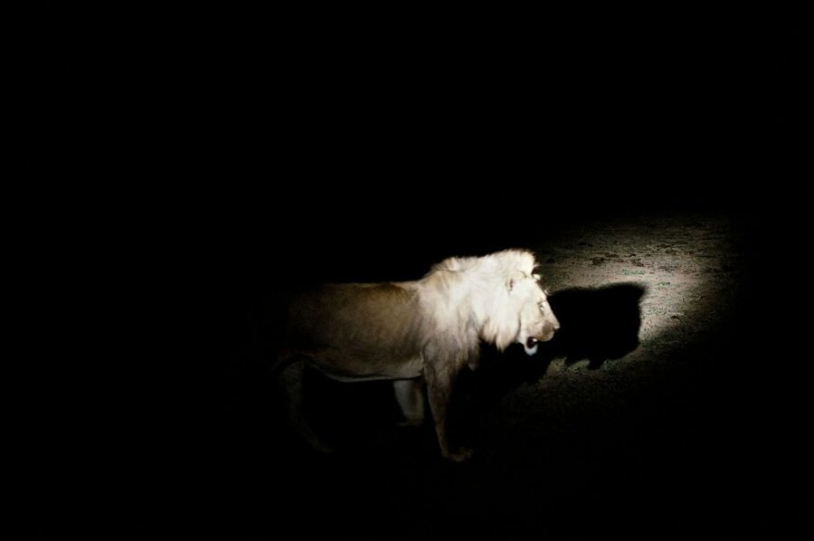 Lion at night in South Luangwa National Park.