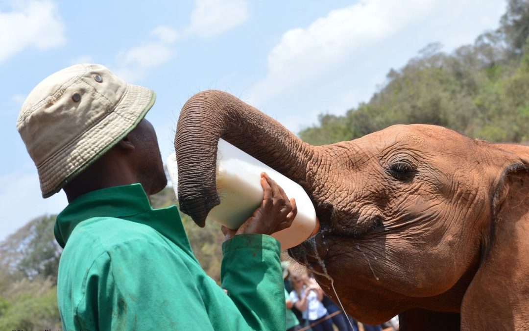 Elephant Orphanage Nairobi – A Visit to The David Sheldrick Wildlife Trust