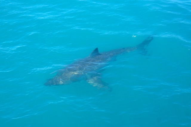 great white shark gaansbai