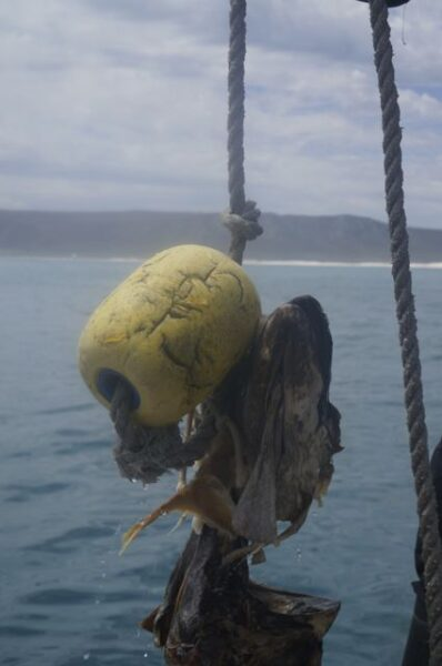 Rotting fish head as bait.
