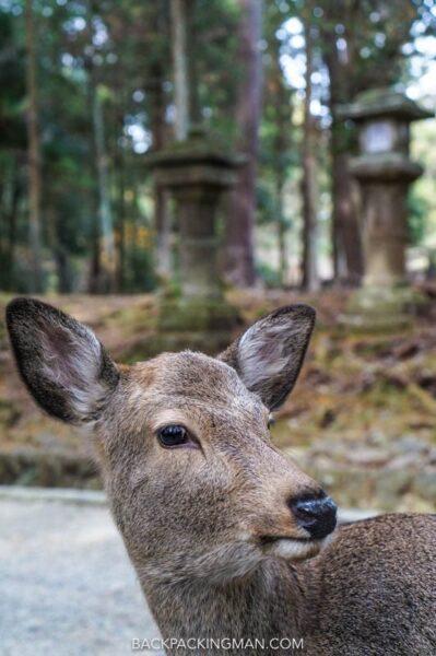 deers in nara in japan