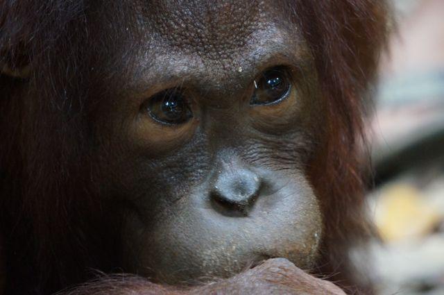 Meeting An Orangutan At Sepilok Sanctuary In Malaysia