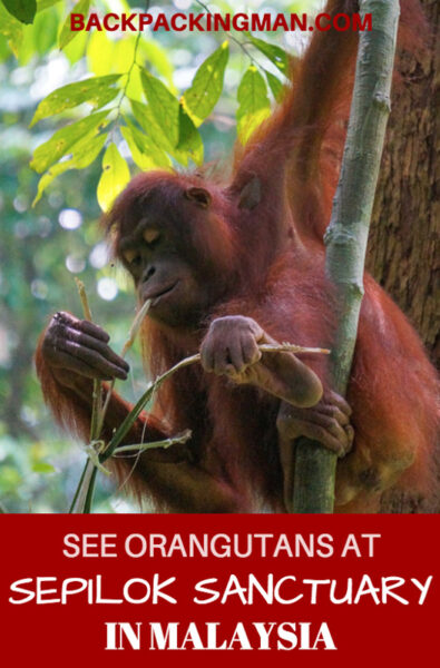 orangutan-sepilok-sanctuary-malaysia