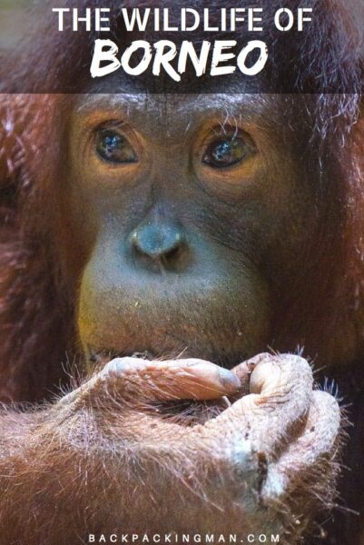 What Wildlife Is In Borneo – What You Can See