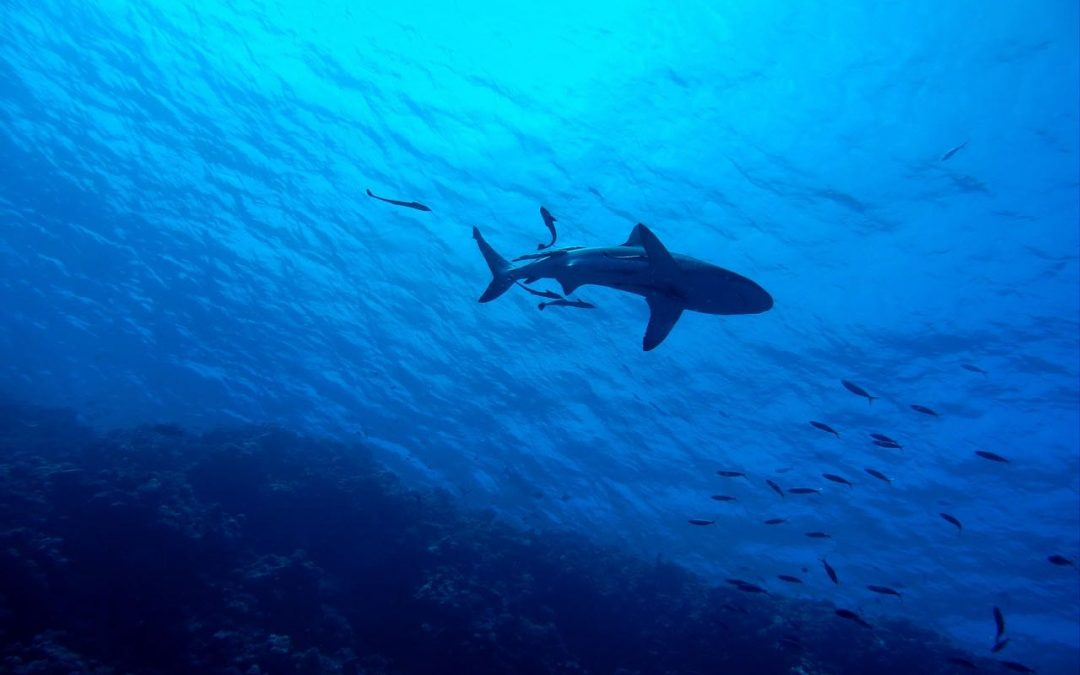 Go Diving with Sharks in Apo Reef in the Philippines