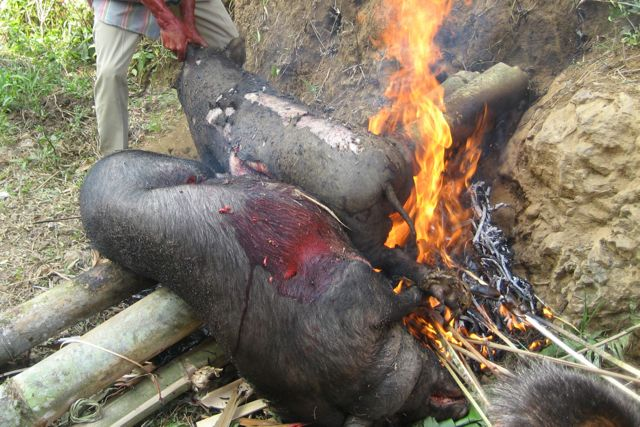 slaughtered pigs in tana toraja