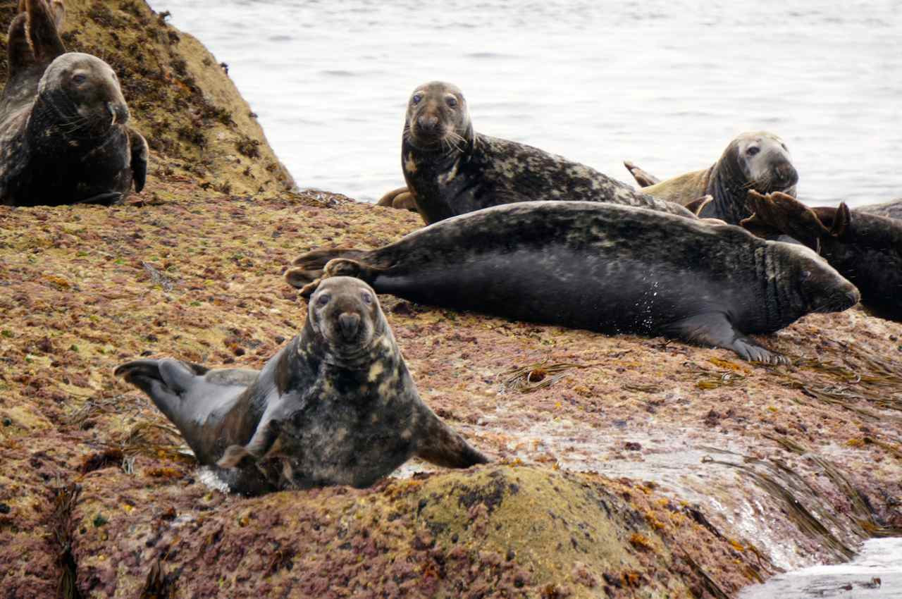 Seals on Western Rocks Isles of Scilly