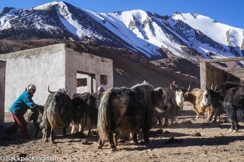 yaks in mountains