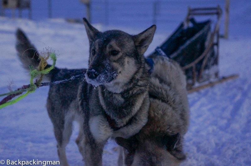 Dog Sledding In Svalbard In The Arctic