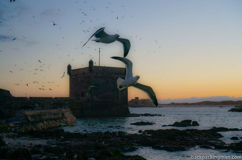 Seabirds Essaouira