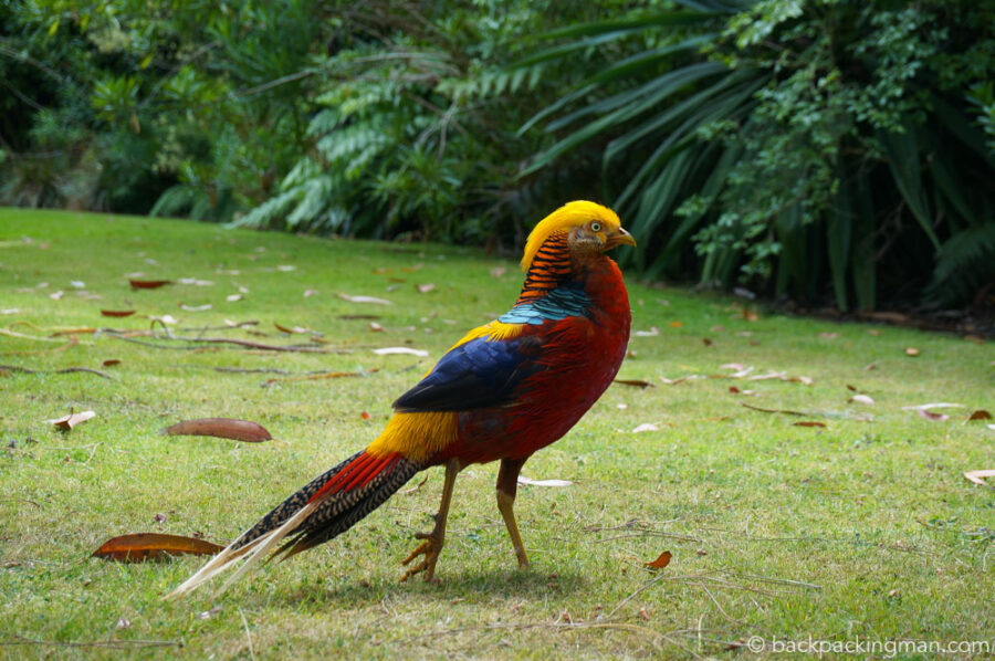 pheasant-tresco-abbey-gardens