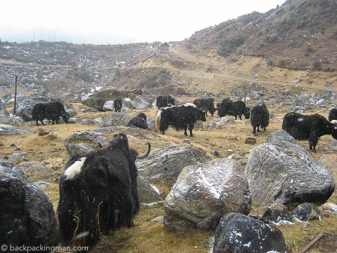 yaks-sikkim-himalaya