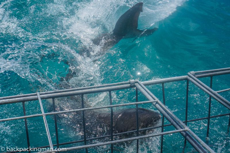 cage-diving-great-white-shark-cape-town