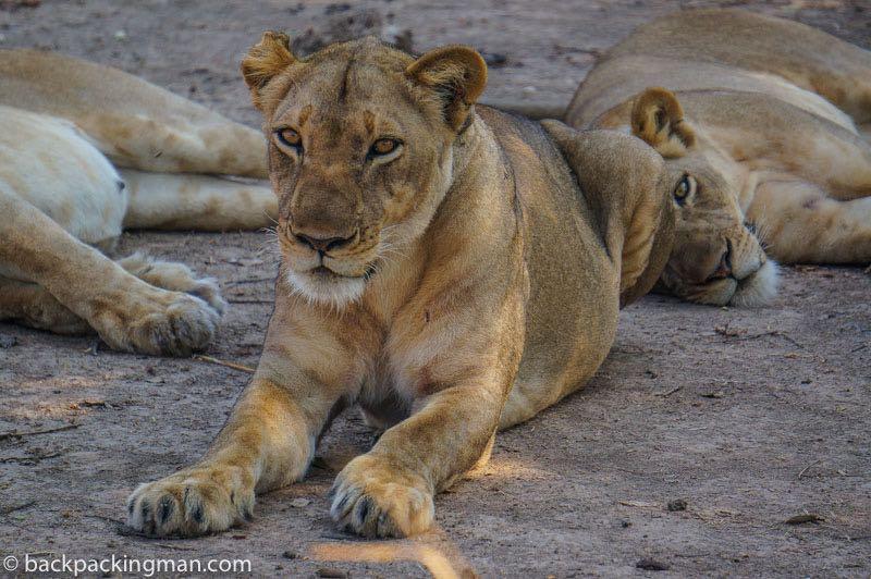 lion-chobe-botswana