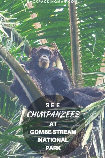 gombe stream chimpanzees