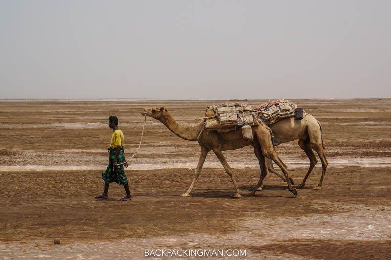 camel caravan salt danakil depression