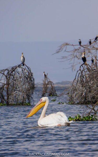 birds on lake naivasha in kenya