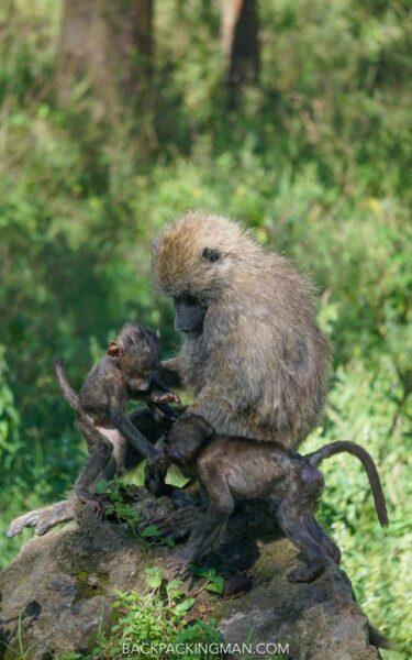 baboon in lake nakuru in kenya