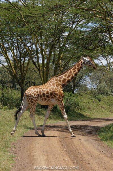 safari in lake nakuru kenya giraffes