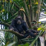 Gombe Stream National Park Chimpanzee Visit