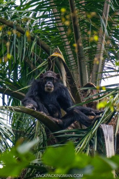 Seeing Chimpanzees In The Wild At Gombe Stream National Park