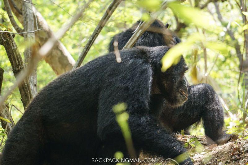 chimpanzees gombe stream tanzania