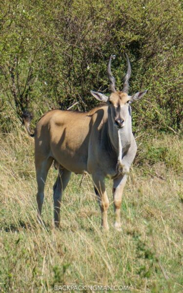 antelope masai mara