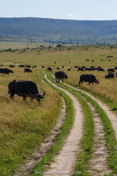 buffalos in masai mara