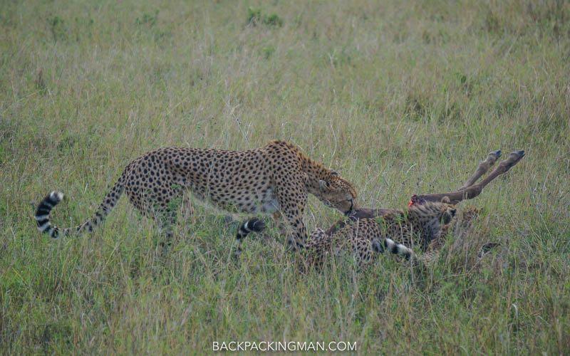 cheetahs masai mara